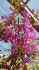 Bougainvillea climbers 5ft in Red or Fushia