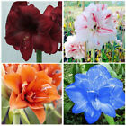 2 Pcs Amaryllis Bulbs Hippeastrum Seeds Home Balcony Garden Decor Flower Plants