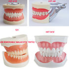 Dental Typodont Study Adult Standard Demonstration Model Teeth &Toothbrush 200H