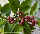 Glycosmis pentaphylla (Ginberry  Orangeberry)- plants-seedlings