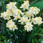 Narcissus Sailboat Early Spring Flowering Garden Bulbs Indoor Outdoor Plants