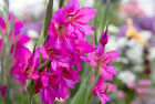 ORGANIC GLADIOLUS AND IRIS COMPOST, SPECIALIST SOIL FOR GLADIOLI AND IRIS PLANTS