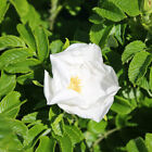 Rosa rugosa Alba 'White Ramanus Rose' Bare Root Hedge Green Hedging Tree Plants