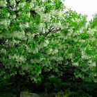 White Fringe Tree, Chionanthus virginicus, Seeds (Showy, Fragrant, Fall Color)