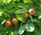 Showy Medlar, Mespilus germanica, Tree Seeds (Edible, Fall Color, Hardy)