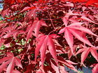 Внешний вид - Red Japanese Maple, Acer palmatum atropurpureum, Tree Seeds (Fall Color, Bonsai)