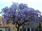 Royal Empress, Paulownia tomentosa, Tree Seeds (Fast, Showy, Fragrant)