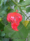 SEMI PEPERONCINO TRINIDAD SCORPION BUTCH TAYLOR BT NUOVO GUINNESS WORLD RECORD!!
