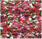 Petunia Dream Mix PETUNIA Flower SEEDS - ABUNDANT FRAGRANT BLOOMS