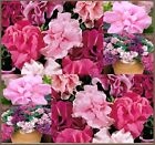 "Double Cascade Mix PETUNIA Flower SEEDS - Carnation of Petunias Huge 4-5"" BLOOMS"