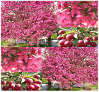 Prairie Fire Crab Apple - Malus Prairifire Tree Seeds  Excellent Bonsai Specimen