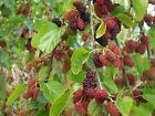 Black Mulberry, Morus nigra, Tree Seeds (Hardy, Edible)