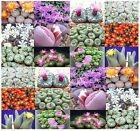 Conophytum Species Mix Seeds - Cactus Mix - South African...