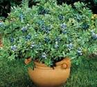 Top Hat Dwarf Blueberry Bush ( Vaccinium ) - Live Plant - Quart Pot