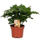COFFEA ARABICA COFFEE IN 12CM PLANT TALL POT GROW YOUR OWN COFFEE GIFT BOX