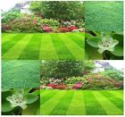 Dichondra Lawn Grass Seed - GROWS EASILY In Full Sun or Partial Shade