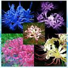 6pcs True Lycoris Bulb,Spider Lily,Lycoris Radiata, Bonsai Bulb Flowert Natural