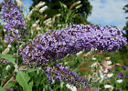 Butterfly Bush, Buddleia davidii, Shrub Seeds (Fast, Showy, Fragrant, Hardy)