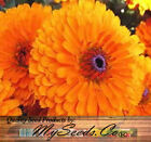 Calendula officinalis Flower Seeds ~ PACIFIC BEAUTY - Packet or  BIG PACK Size