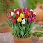7 Colors Perfume Tulip Seed Decor Flower Bonsai Seed Home Garden Potted Plants L