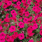 PETUNIA TIDAL WAVE CHERRY. Live plants Plugs