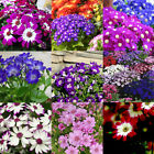 50pcs Ground-cover Chrysanthemum Seeds Perennial Daisy Flower Seeds Mix Color ..