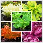 100pcs/bag mixed color Hosta plants 'Whirl Wind' in full shade flower seeds Bons