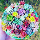 100 Pcs Mixed Beauty Succulents bonsai plant Easy To Grow Mini Potted Flower