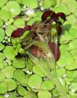 Giant Duckweed aquatic plant for Aquarium and pond. << FREE SHIP >>