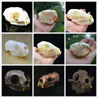 Внешний вид - 1pcs real Animal Skull specimen Collectibles Racoon,Fox,rabbit,Nutria, Muskrat..
