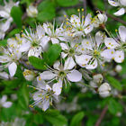 Prunus spinosa 'Blackthorn' Bare Root Hedge Green Hedging Tree Plants