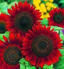 Red Sun Sunflower Seeds | Non-GMO | Fresh Garden Seeds