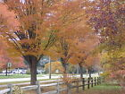 Japanese Zelkova, Zelkova serrata, Tree Seeds (Fall Color, Fast, Bonsai, Hardy)
