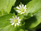 earthsgarden CHICKWEED OIL 100% PURE NATURAL ORGANIC BASE CARRIER OIL .