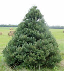 Scotch Pine Tree Seeds, Pinus sylvestris, Popular Christmas Tree from Seed