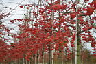 Red Sentinel Crabapple Tree Seeds