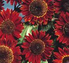 "9GreenBox - 25 Sunflower ""Red Sun"" (Helianthus annuus) Seeds RARE Hard to Find"