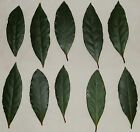 Fresh bay leaves SENT BY FIRST CLASS POST Bayleaf cooking 10 20 30 40 50 100