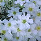 Clematis Avalanche Evergreen Climbing Plant