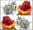 Passionfruit Passion FRUIT Seed Blue Flower Passiflora caerulea