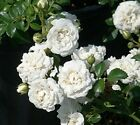 Icy White Drift Groundcover Rose - Live Plant - Quart Pot