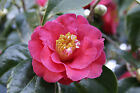 Japanese Camellia, Camellia japonica, Shrub Seeds (Showy Flowers, Evergreen)