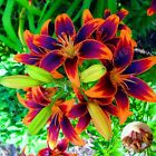 Lily Bulbs, Yellow Red Lily Flowers, Rare Flowers, Bonsai Plant, 8 Bulbs