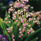 Lily Of The Valley Flower Bulb, Bell Orchid Seeds, Rich Aroma, Color 02