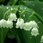 Lily Of The Valley Flower Bulb, Bell Orchid Seeds, Rich Aroma, Color 05