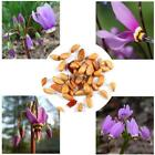 Home Gardening Ornamental Plants Shooting Star Flower Seeds LM