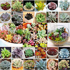 100 seeds Rare succulent cactus rare exotic CombSH Easy to Grow Good quality