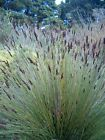 ELEGIA TECTORUM - Garden Landscaping Restio 5 seeds. Fast growing thatching reed