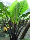 "Alocasia macrorrhiza ""Black Stem"" - (Black Stem Elephant Ear) 6"" Pot"