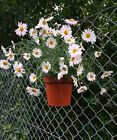 6 CHAIN LINK PLANT POT HANGERS,HOLDERS,RINGS.HANG PLANTS ON WIRE FENCES,GABIONS